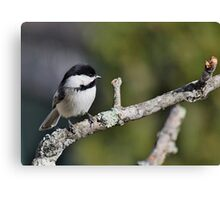 Black-capped chickadee perched on a branch Canvas Print