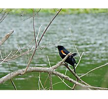 Red-winged Blackbird - Agelaius phoeniceus Photographic Print