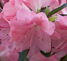 Pink Azalea by Tom Gotzy