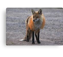 First Red Fox of the Season Canvas Print