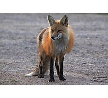 First Red Fox of the Season Photographic Print