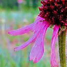 Chromatic Coneflower by aprilann