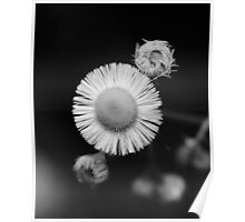 wild flower detail with rain drop on bloom B&W  Poster