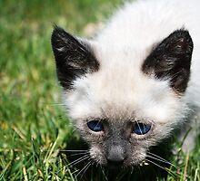 Stanton the Kitten by Jewel Pfaffroth