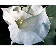 White Datura Photographic Print