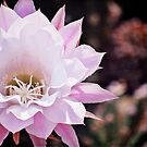Cactus Flower by photecstasy
