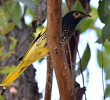 Regent Honeyeater taken Kitchener near Cessnock by Alwyn Simple