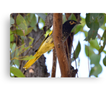 Regent Honeyeater taken Kitchener near Cessnock Canvas Print