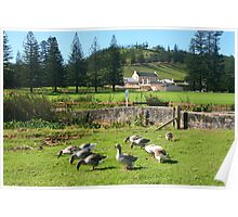 Geese at Kingston, Norfolk Island Poster