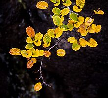 Fagus at Mt Field, Tasmania by Jim Lovell