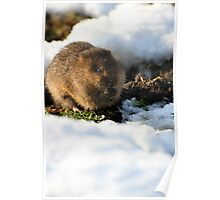 Water Vole In Snow Poster