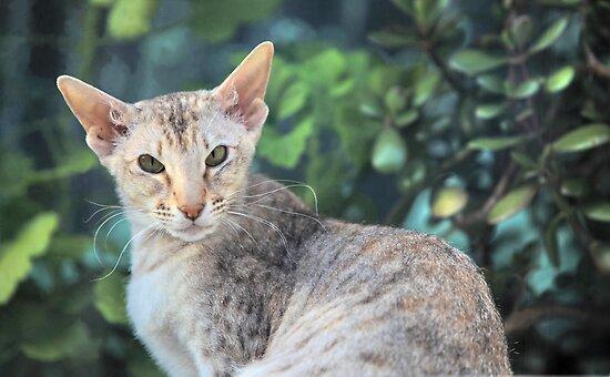 big-eared cat by mrivserg