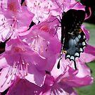 Black Swallowtail by Dennis Cheeseman
