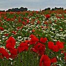 Poppyland by JohnYoung