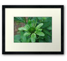 green cone flower Framed Print