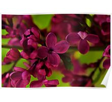 French lilac  Poster