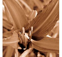 Garden Daylily in Sepia Photographic Print
