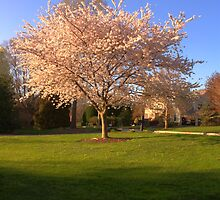 Cherry Trees in the Spring by Nicholas Nalbone