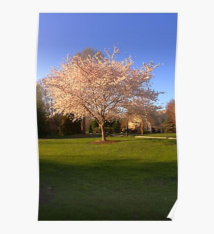 Cherry Trees in the Spring Poster
