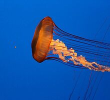 *Jellyfish* by DeeZ (D L Honeycutt)