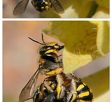 Wool Carder Bees (cousin to the honey bee) by Betsy  Seeton