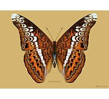 Admiral Butterfly Photographic Print