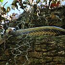 Yellow Rat Snake In A Live Oak by Kathy Baccari