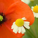 Poppy 2012 6 by Falko Follert