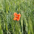 Poppy 2012 15 by Falko Follert