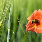 Poppy 2012 16 by Falko Follert
