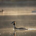 Great Crested Grebe, Basingstoke Canal by Craig Denford