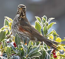 Redwing on a holly bush, Frimley by Craig Denford