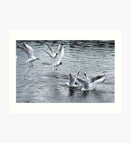 Black Headed Gulls Feeding Art Print