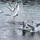 Black Headed Gulls Feeding by photobymdavey