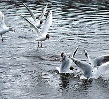 Black Headed Gulls Feeding by photobymdavey