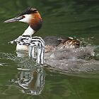 Great Crested Grebe and Chicks, Basingstoke Canal by Craig Denford