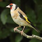Goldfinch, Frimley by Craig Denford