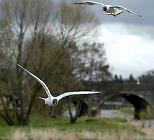 Black Headed Gulls in Flight by photobymdavey