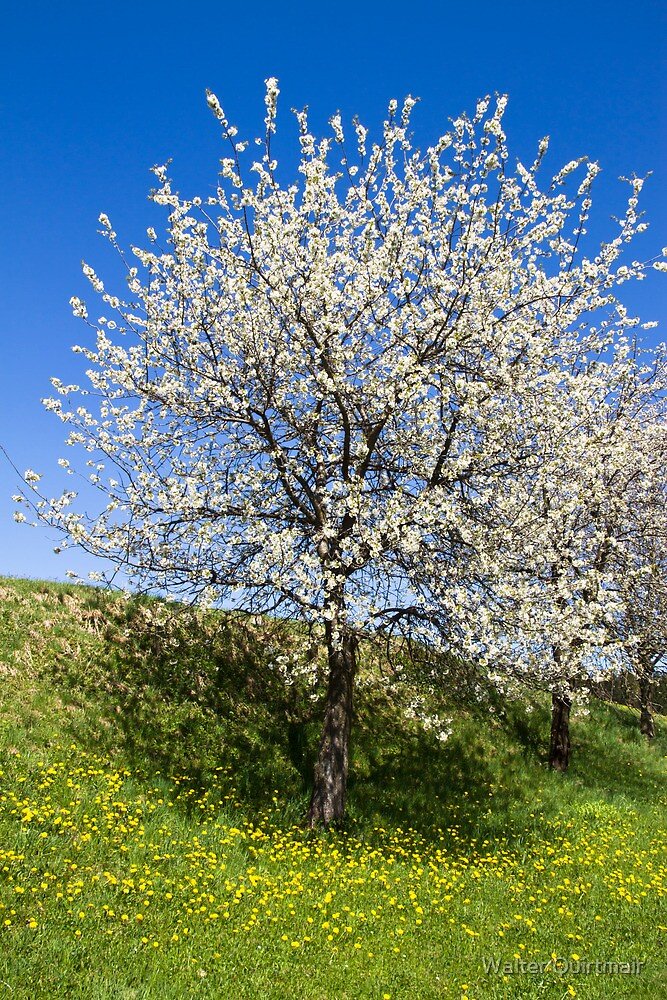 Spring Glory by Walter Quirtmair