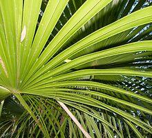 fan palm by Anne Scantlebury