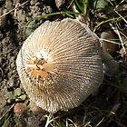 Fungi Mushroom in Detail by MyPixx