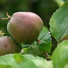 Rustic Apples on Tree by MyPixx