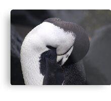 Chinstrap Penguin , Antarctica Metal Print