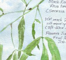 Black Karee leaves - Rhus lancea - Botanical Sticker