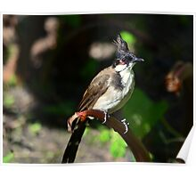 Red-whiskered Bulbul ( Pycnonotus jocosus ) Poster