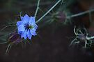 Midnight Blue by Carol Knudsen