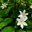 Queen's Cup - Clintonia uniflora by Digitalbcon