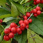 Red and Green Holly Berries by CuteNComfy