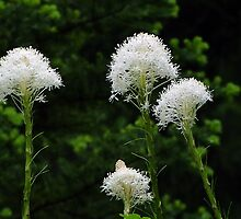 Bear Grass - Xerophyllum tenax by Digitalbcon