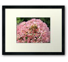 Honey bee on Pink Flower Framed Print